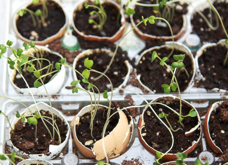Broccoliplantan spirar att växa i äggskal som är sunda banta och royaltyfria bilder