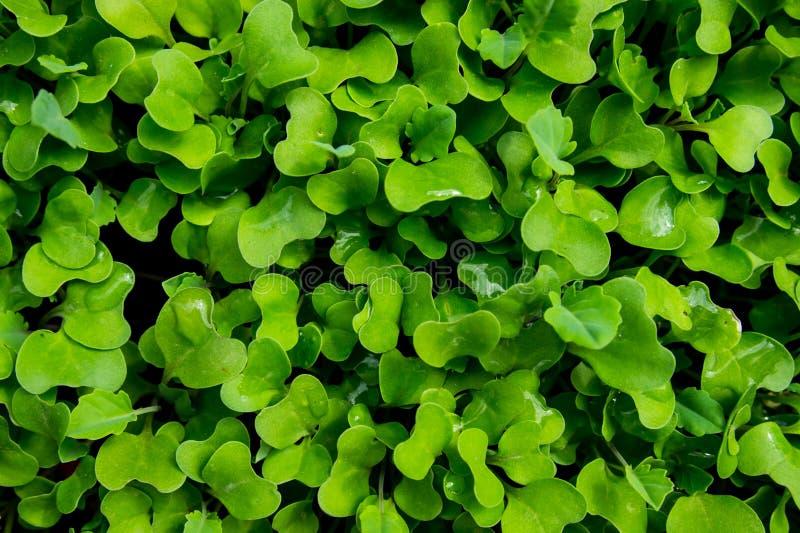 Broccolisidatextur royaltyfria bilder