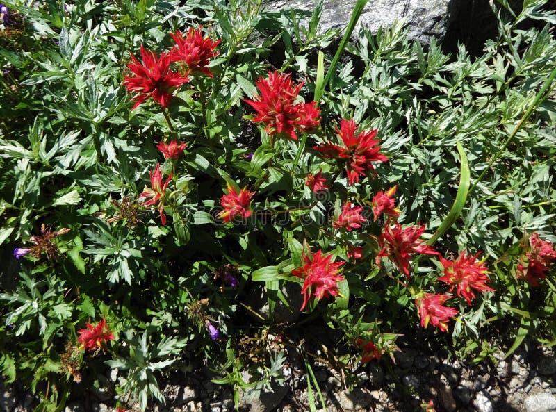Brocha india roja floreciente imagen de archivo libre de regalías