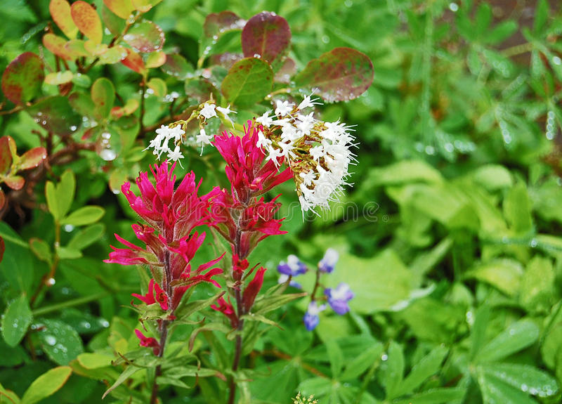 Brocha india roja y wildflowers alpinos del apio de monte imágenes de archivo libres de regalías