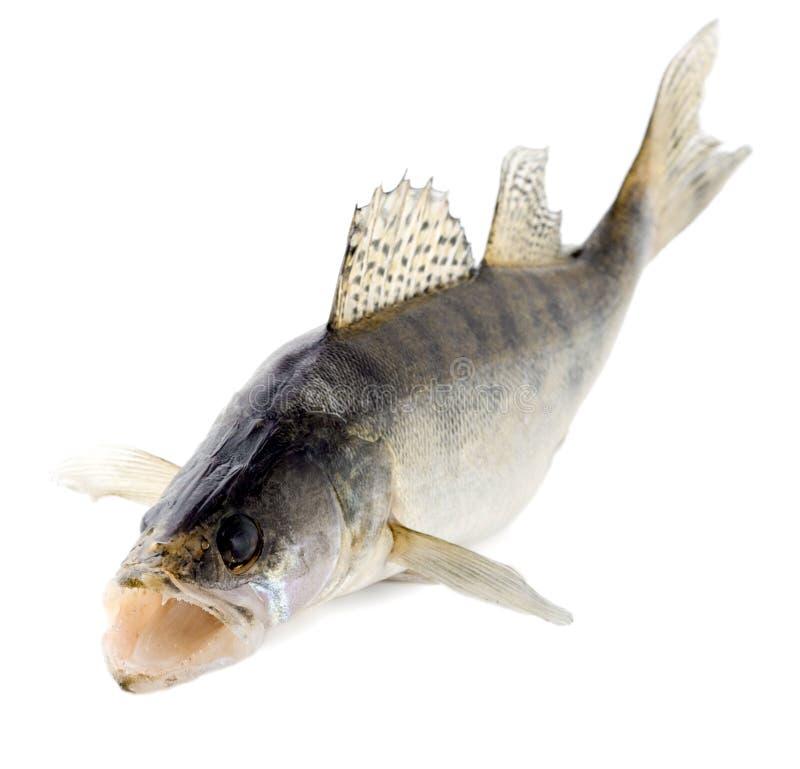 brochets vairons de poissons photos stock