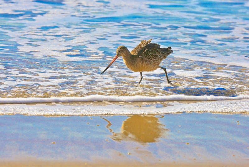 Brockfågelfågelkustlinje Kalifornien fotografering för bildbyråer