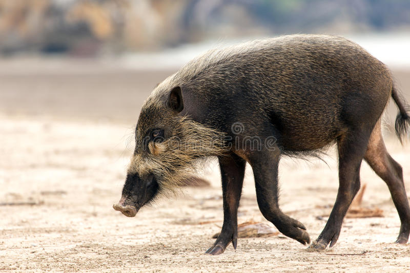 brodata bornean świnia zdjęcie royalty free