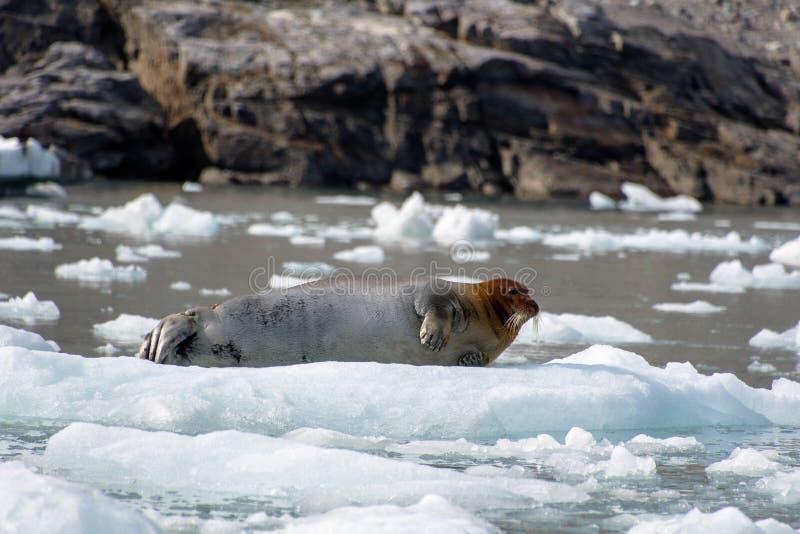 Brodata foka na górze lodowej cieszy się niektóre spoczynkowych obrazy royalty free