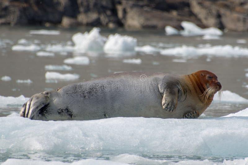 Brodata foka na górze lodowej cieszy się niektóre spoczynkowych fotografia stock
