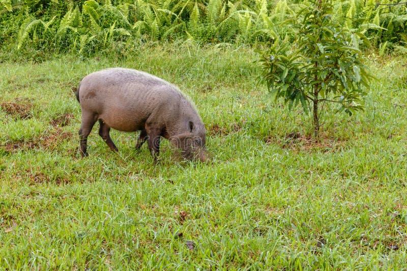 Brodatego świniowatego łasowania zielona trawa zdjęcia royalty free