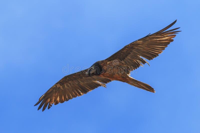 Brodatego sępa Gypaetus barbatus także znać jako Lammergeier lub Brodatego sępa latanie w Chiny obrazy stock