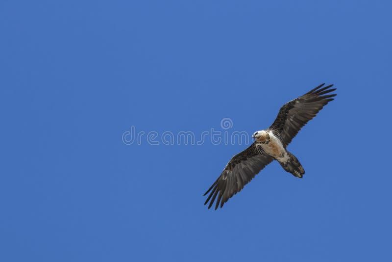 Brodatego sępa Gypaetus barbatus także znać jako Lammergeier lub Brodatego sępa latanie w Chiny obrazy royalty free