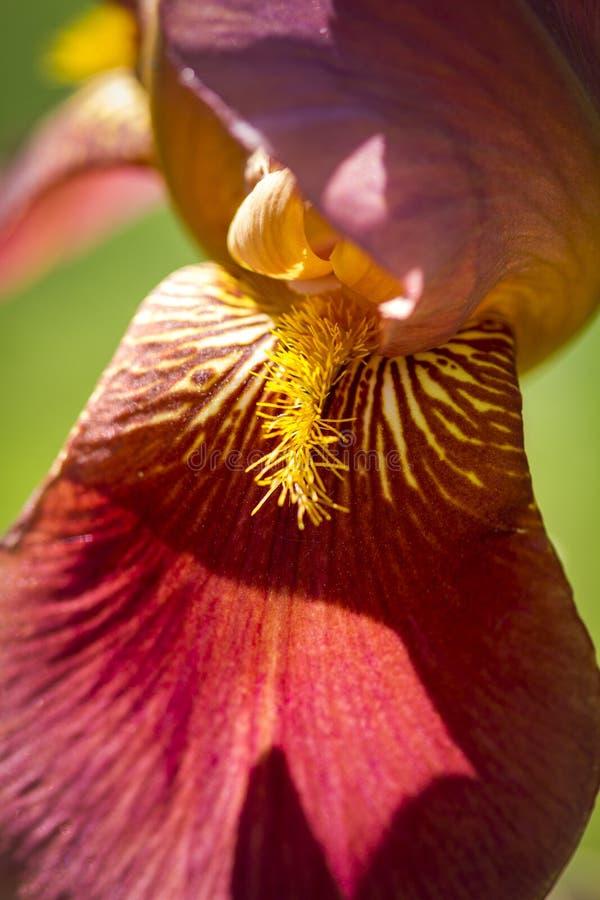 Brodaty irys w ogródzie fotografia royalty free