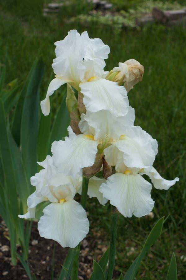 Brodaty irys z białymi kwiatami obraz stock