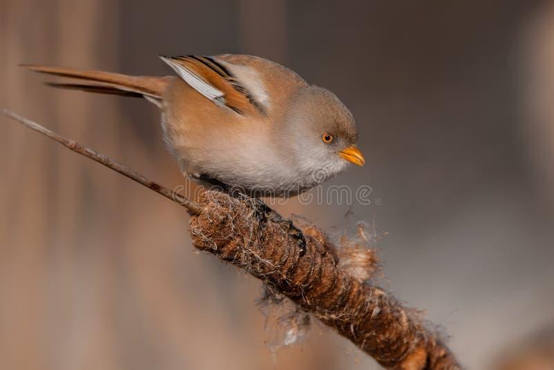 Brodaty reedling Panurus biarmicus, piękny ptak od płoch, ãšstà nad Labem okręg, republika czech zdjęcie stock