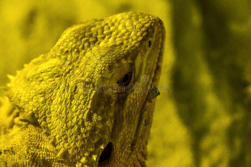 Brodaty smok w zoo zdjęcia royalty free