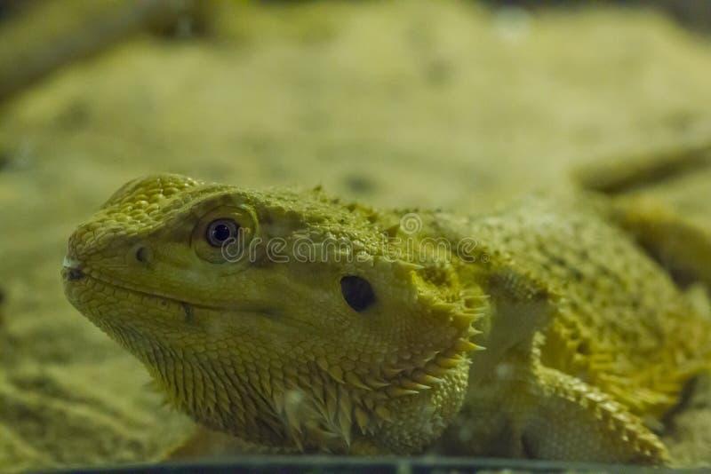 Brodaty smok w zoo fotografia royalty free