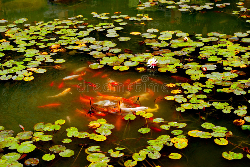 Brodcaded carps pond. A swarm of colorful brocaded carps,kois,swim carefree among the lotus leaves stock images