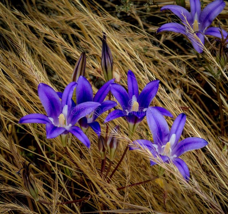 Brodiaeaelegans tillfogar vibrerande färg till en gräs- lapp av ängen royaltyfri fotografi