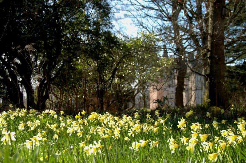 Brodie daffodils i kasztel zdjęcia royalty free