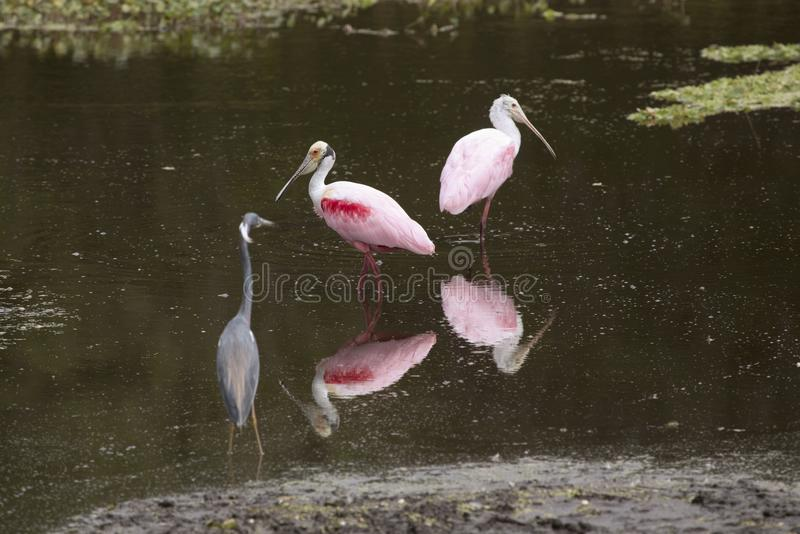 Brodzący ptaki z roseate spoonbills przy Orlando bagien parkiem, fotografia royalty free