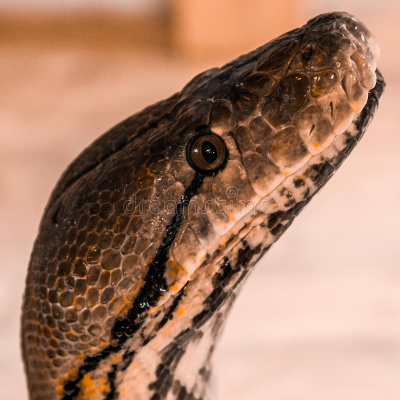 Broghammerus reticulatus. Python reticulatus exposed in the parking lot of a mall by Circo Acquatico Bellucci stock image
