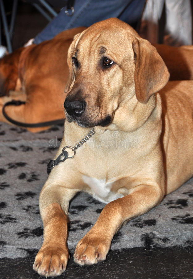 Broholmer, δανικό σκυλί μαστήφ στοκ εικόνες