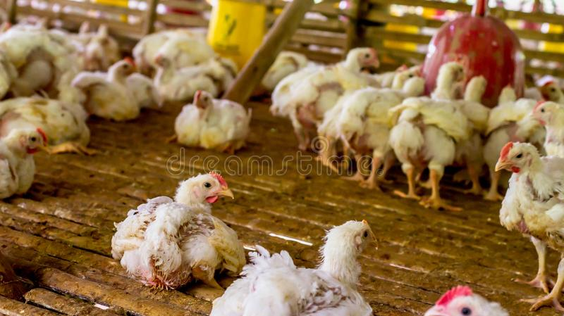 Broiler chicken in the farm. Broiler chicken, bred and raised for meat production stock image