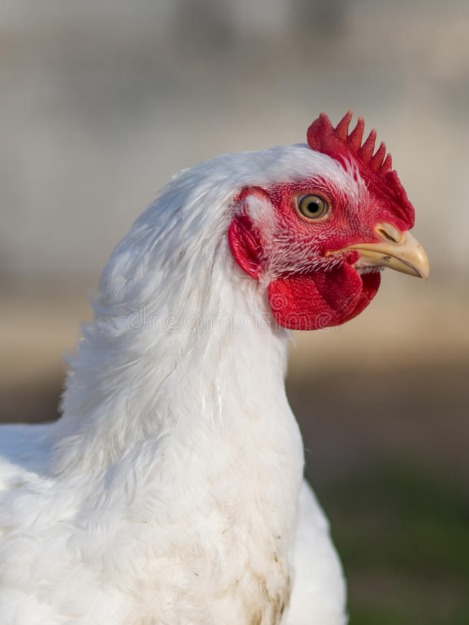 Broiler chicken. A close up portrait of a Broiler Chicken stock photos