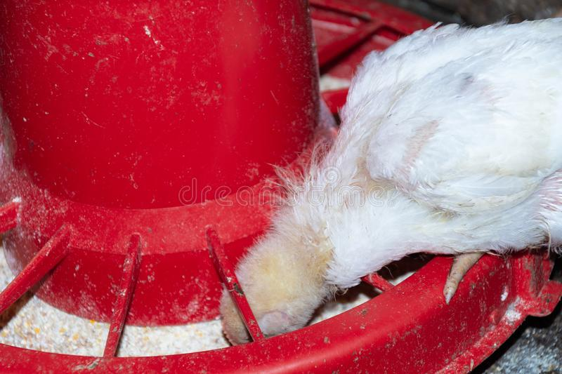 Broiler chickens. Domestic farm animals stock images