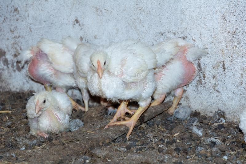 Broiler chickens. Domestic farm animals royalty free stock photography