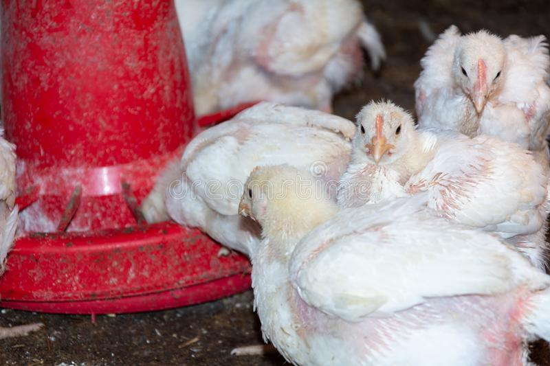 Broiler chickens. Domestic farm animals royalty free stock image