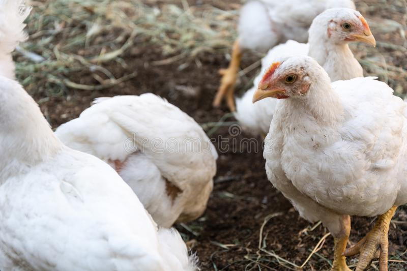 Broiler chickens. Home and broiler chicken. Mixed breed of chickens royalty free stock image