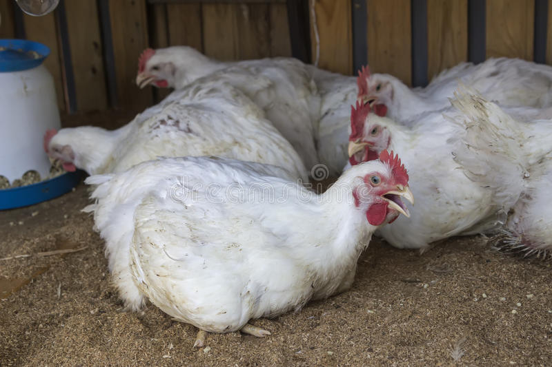 Broiler chickens in homemade chicken house 2. Broiler chickens in homemade chicken house, fast growth concept. Raising chickens for meat. Selective focus and royalty free stock photos
