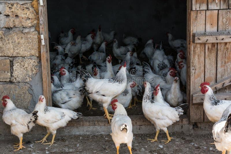 Broilers na domu gospodarstwie rolnym zdjęcia stock