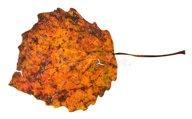 Broken autumn fallen leaf of aspen tree. Isolated on white background stock images