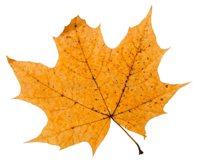 broken autumn leaf of maple tree isolated royalty free stock photo