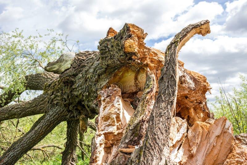 Broken fallen tree. In summer, close royalty free stock photos