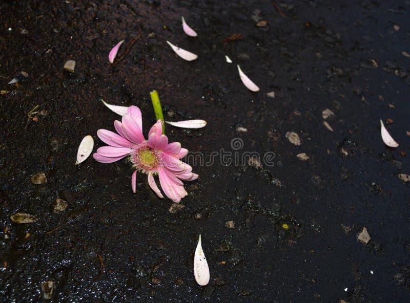 Broken flower. Poor broken flower on pavement in Greenock stock photo