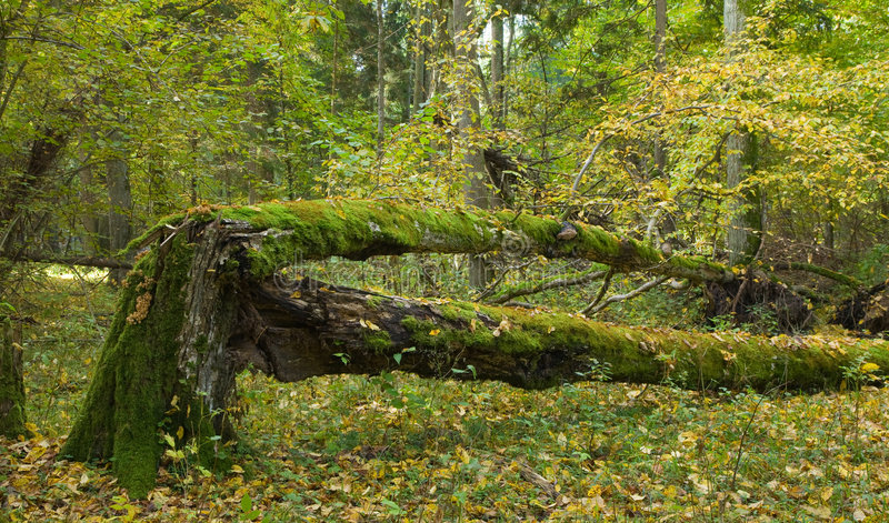 Download Broken Hornbeam Tree Partly Decomposed Stock Photo - Image: 7537450