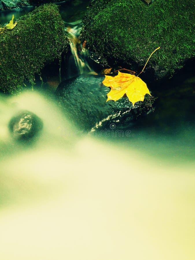 Broken maple colorful leaf. Castaway on wet slipper stone in stream. Autumn colorful leaf. Castaway on wet slipper stone in stream stock images