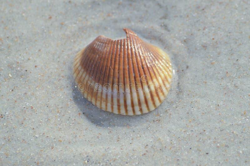 Orange and White sea shell. Broken Orange and white sea shell found at the beach stock photo