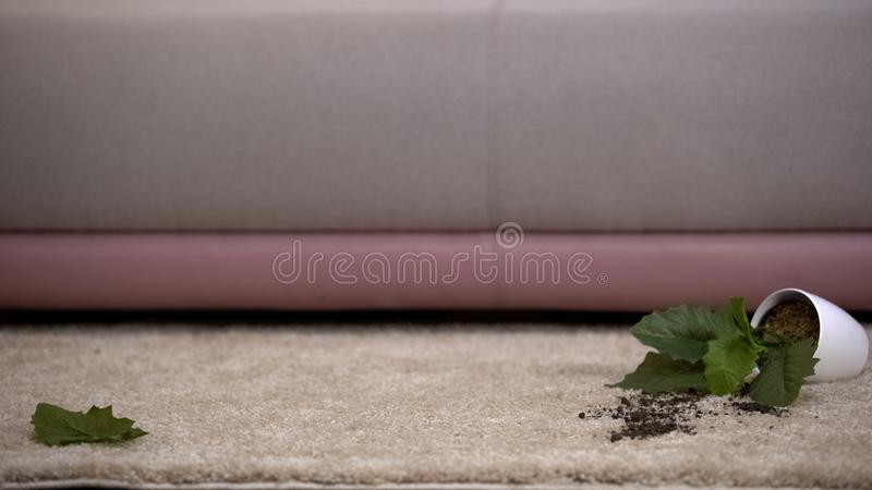 Broken potted plant lying on carpet, kids or pet misbehavior, cleaning service. Stock photo stock images