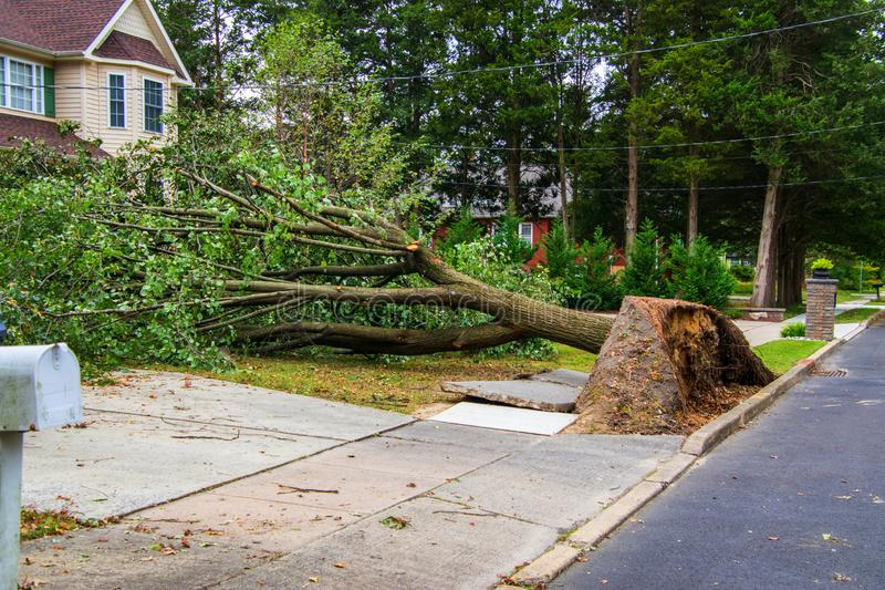 Broken sidewalk from an uprooted fallen tree after a storm. Large uprooted tree laying across the sidewalk and onto the lawn in a residential neighborhood. The stock images