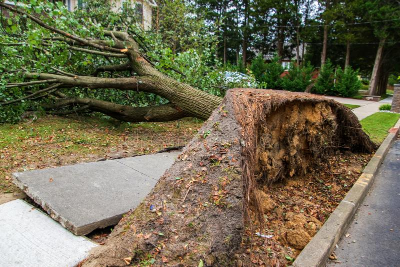 Broken sidewalk from an uprooted fallen tree after a storm. Large uprooted tree laying across the sidewalk and onto the lawn in a residential neighborhood. The stock photos