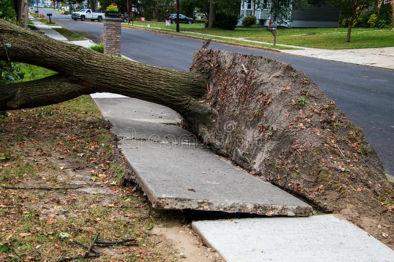 Broken sidewalk from an uprooted fallen tree after a storm. Large uprooted tree laying across the sidewalk and onto the lawn in a residential neighborhood. The royalty free stock image