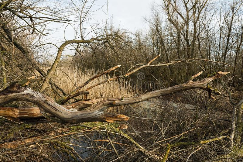 Download Broken Tree And Dry Branches In The Winter Forest. Stock Photo - Image: 83708522