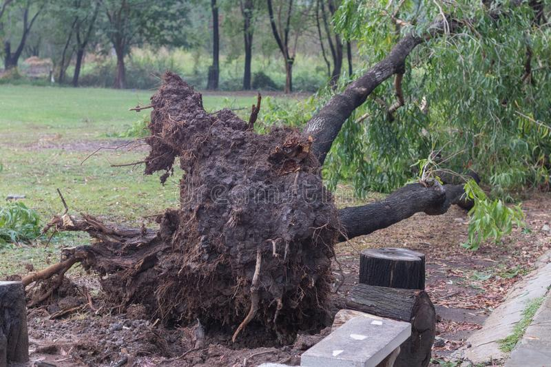 Broken tree fall down after heavy storm royalty free stock photo