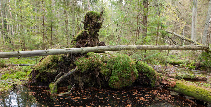Broken tree roots partly declined