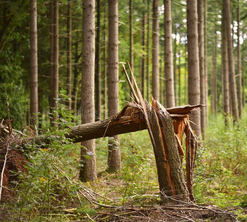A broken tree after a storm in a forest during autumn season. royalty free stock photography
