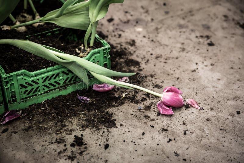 broken tulpan fotografering för bildbyråer