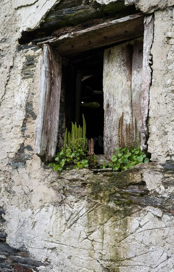 Broken window on the white wall, in abandoned house, with herbs and plants growing in the window sill royalty free stock photo