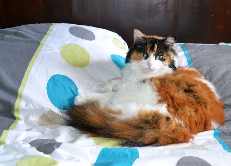 Brokig päls- katt royaltyfria bilder