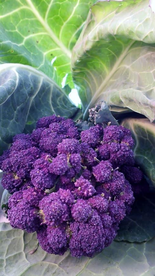 brokułów target925_0_ kapuściany organicznie purpurowy fotografia stock